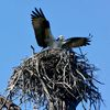 Flapping%20osprey%20in%20nest%20fp%203-4-12%20(143)%20s