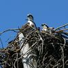 2%20ospreys%20in%20nest%20fp%203-4-12%20(203)%20cs