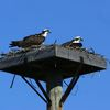 2%20ospreys%20on%20platform%20fp%203-4-12%20(124)s