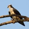 Osprey_mach_2012_013