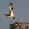 3-23-12-6896_msr_osprey_male
