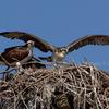 6-27-2012-4694_osprey_chick