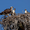 6-27-2012-4718_osprey_adult___2_chicks