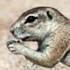 African_ground_squirrel_100