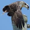 Osprey-fledged-7-csq