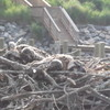 Osprey_chicks
