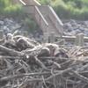 Osprey_chicks