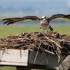 Osprey_nest_4_6-23-12_3_chicks_mom_protecting_money_ccb