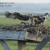 Nest_4_7-26-12_3_chicks_touch_down___bow_06_ccb