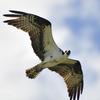 Osprey_004