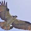 Osprey222