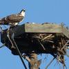 Osprey_chick_8-21-09