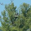 Osprey_gl_4-17-09