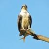 Osprey_with_fish_by_ray_mochizuki