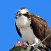 Osprey_profile