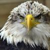 Bald_eagle_-_winter_springs_florida