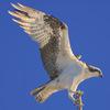 Osprey_fly