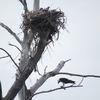 Osprey_nest_1136_0654_20130225