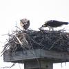 Osprey_nest_1132_0668_20130225
