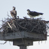 Osprey_nest_1132_0665_20130225