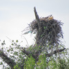 Osprey_nest_1588_0662_20130225