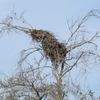 Osprey_nest_1589_0613_20130222