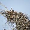 Osprey_nest_1589_0614_20130222