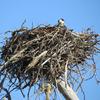 Osprey_nest_1591_0608_20130222