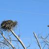 Osprey_nest_1591_0605_20130222