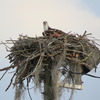 Osprey_nest_1595_at_4th_street_-_wendys_0354_20130210