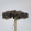 Osprey_nest_1027_at_74th_ave_and_4th_street_-_sweetbay_0346_20130210