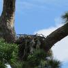 _1605_osprey_nest_edgewater_drive_0791_20130301