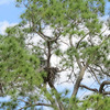 _1606_osprey_nest_edgewater_drive_0794_20130301