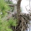 _1606_osprey_nest_edgewater_drive_0793_20130301