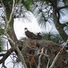 _1608_osprey_nest_near_dr._perry_0783_20130301