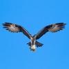 Rsz_flyingosprey