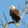 Chesapeake%20eagle