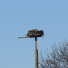Jordan_hall_osprey_nest