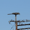 Shuck_hall_osprey_nest