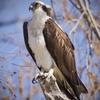 Osprey_richard_hogge