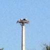Tcosprey