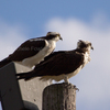 3-13-13-1362_ar_ospreys_rs