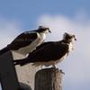 3-13-13-1362_ar_ospreys_rs