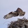 3-28-13-4285_bayside_osprey