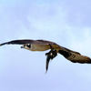 1osprey_watch_flying_with_fish_sharon_fine