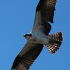 7361_female_osprey_nest_2_on_3-23-13