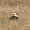 0679_osprey_nest_2_male_ques_3-23-13