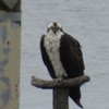 0040_osprey_female_nest_167-b-031_(_2)_3-24-13