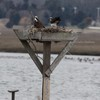 8812_nest_2_both_osprey_-_poo_shot_3-28-13