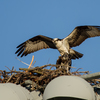 _mg_1863-osprey_pair